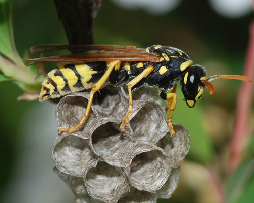Invasive European Paper Wasp